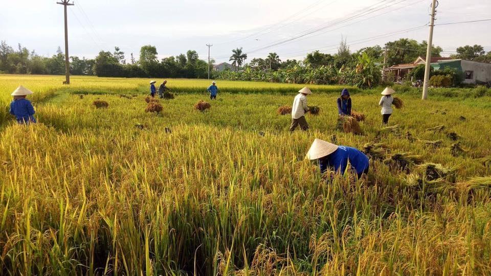 Các đoàn viên thanh niên giúp người dân thu hoạch nhanh lúa hè thu