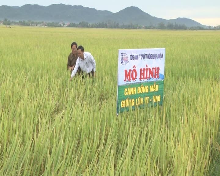 UBND huyện Cẩm Xuyên thăm đồng, đánh giá kết quả triển khai giống lúa VT-NA6